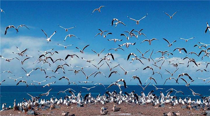 青海湖鸟岛旅游图片