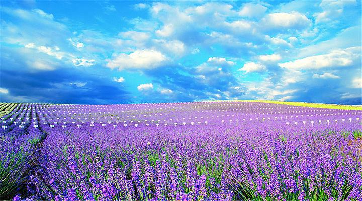 薰衣草之坡旅游图片
