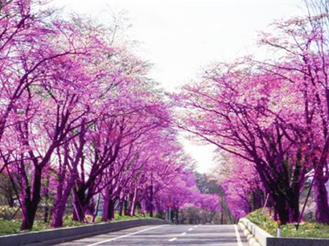 樱花树街道旅游景点图片