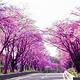 樱花树街道